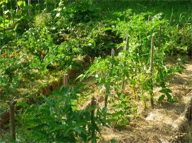 Lauke augantys pomidorai dera vėliau, bet jų skonis...
