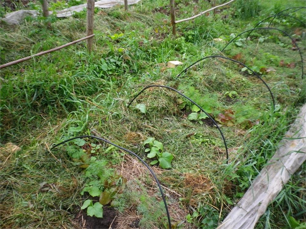 Ridikėlius ir salotas lysvėje keičia agurkai