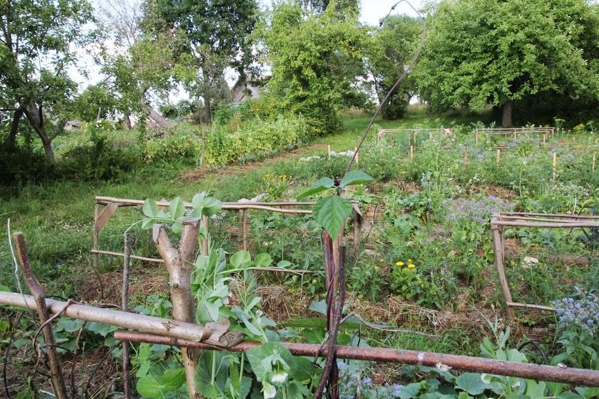 Trečius metus kruopščiai mulčiuojamos lysvės duoda gausų derlių