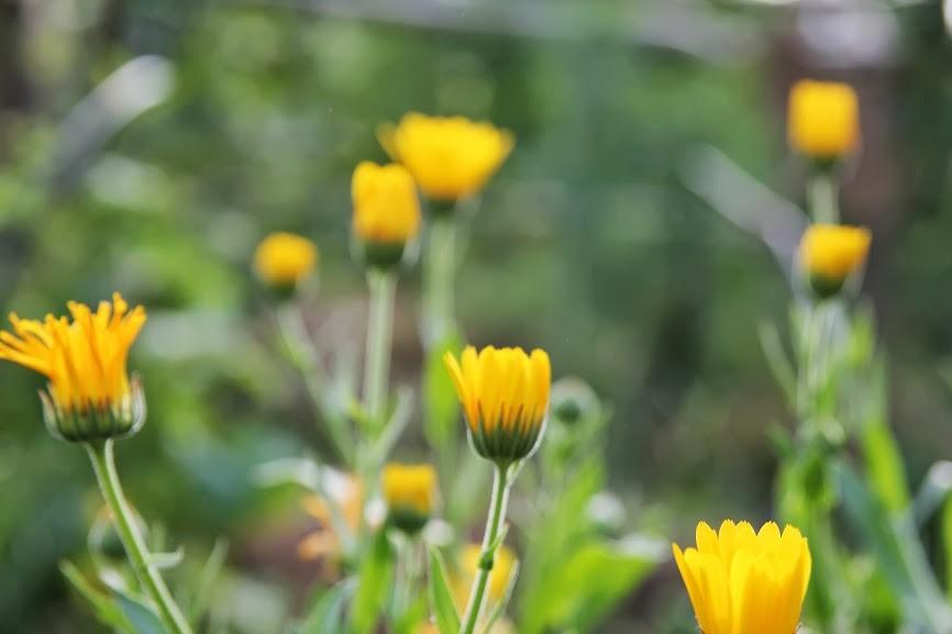 Medetkos - ne tik puošia daržą, bet ir nubaido kenkėjus