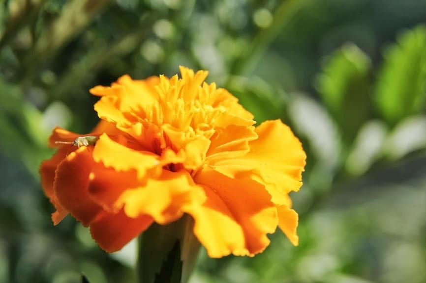 Gvazdikinis serentis taip pat auga ne tik dėl grožio, bet ir dėl daržo sveikatos
