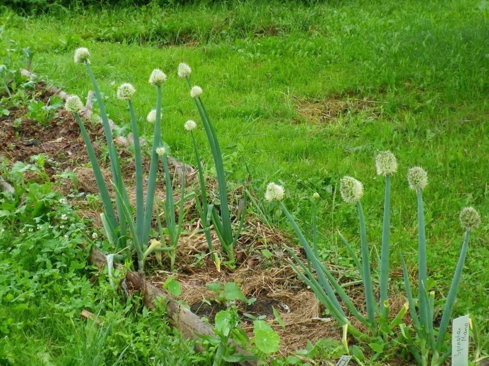 Altajaus svogūnai – švelnaus skonio, ankstyviausi pavasarį