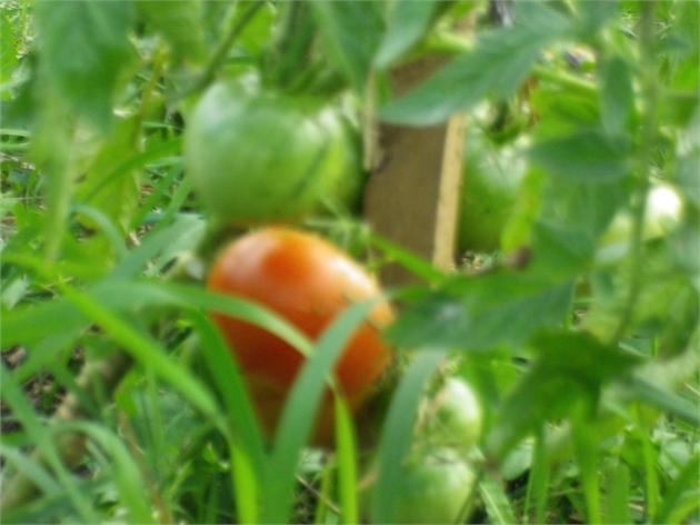 ... jei valgyti, tai tik tokius pomidorus