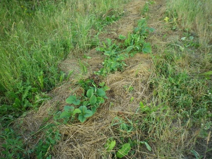 Braškės auginamos pievoje ypač skanios ir kvapnios